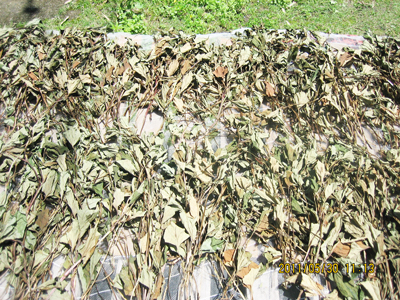 dried-dokudami.jpg